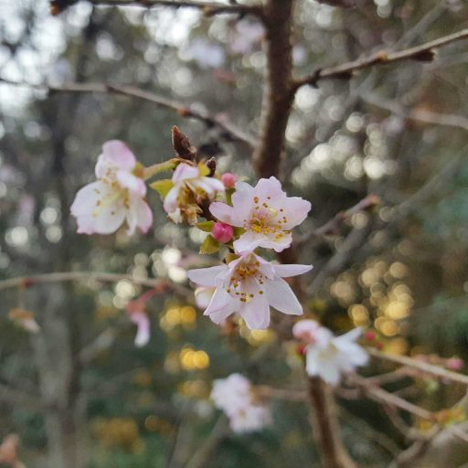 Sakura Flowers in Winter? | Hirano Shrine